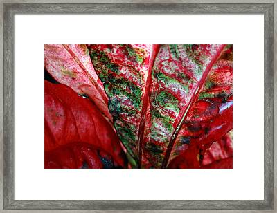 Study Of The Croton 2 Framed Print by Jennifer Bright