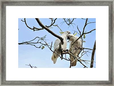 Sulphur Crested Cockatoos Framed Print by Kaye Menner