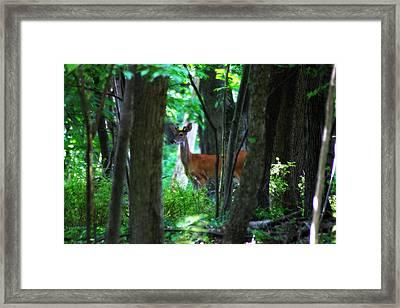 Summer Buck 3 Framed Print by Scott Hovind