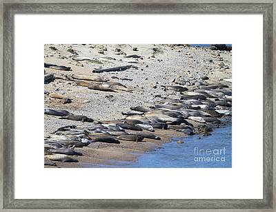Sunbathing Elephant Seals Along A Beach At Point Reyes California . 7d16065 Framed Print by Wingsdomain Art and Photography