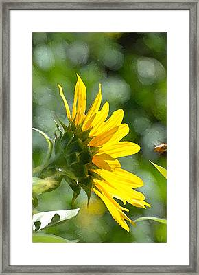 Sunflower 3 Framed Print by Pamela Cooper