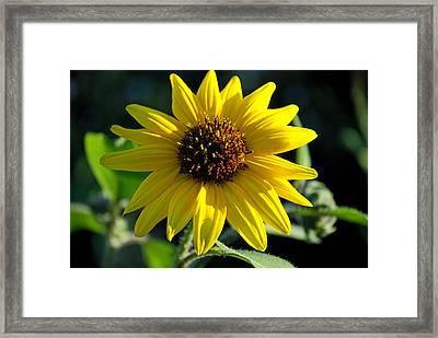 Sunflower Framed Print by Anthony Citro
