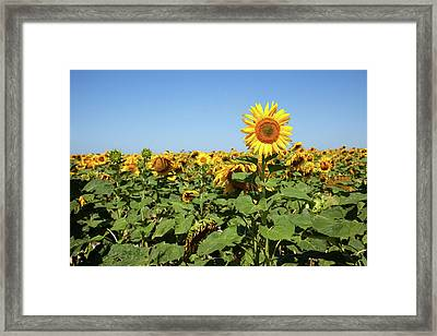 Sunflower Framed Print by Billy Currie Photography