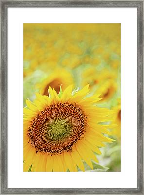 Sunflower In Field Framed Print by Dhmig Photography