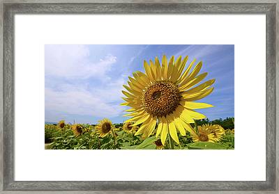 Sunflower In Summer Bloom Framed Print by Moonie's World