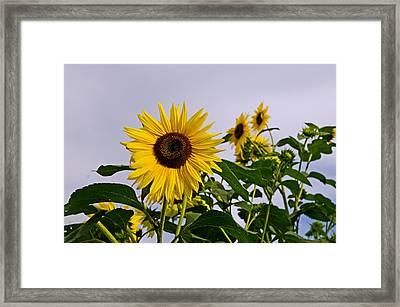 Sunflower In The Setting Sun Framed Print by Richard Bramante