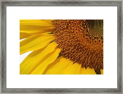 Sunflower Framed Print by Joan Powell