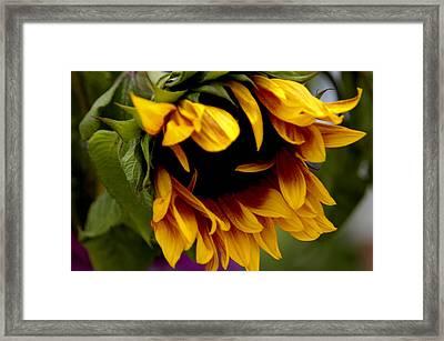 Sunflower Framed Print by Jonathan Schreiber