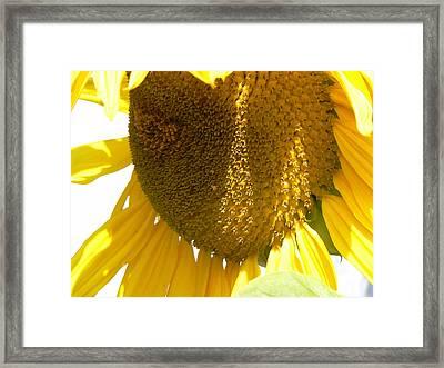 Sunflower Love  Framed Print by Pamela Patch