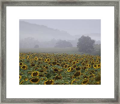 Sunflower Morning Framed Print by Rob Travis