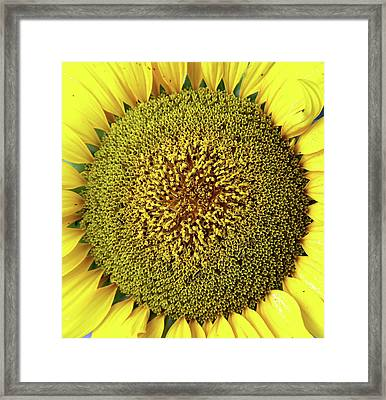 Sunflower Framed Print by Nenov