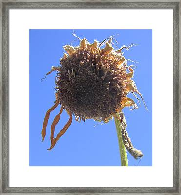 Sunflower-one Framed Print by Todd Sherlock