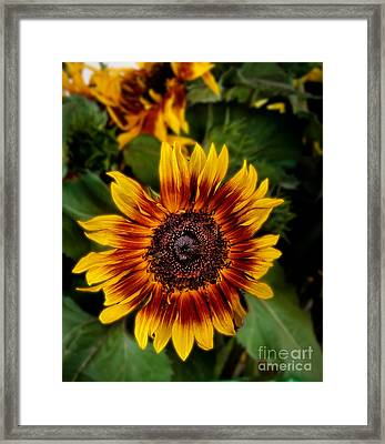 Sunflower Framed Print by Robert Bales