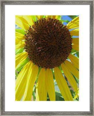 Sunflower-two Framed Print by Todd Sherlock