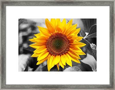 Sunflowers 3 Framed Print by Sumit Mehndiratta