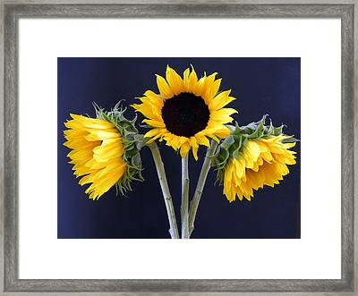 Sunflowers Three Framed Print by Sandi OReilly
