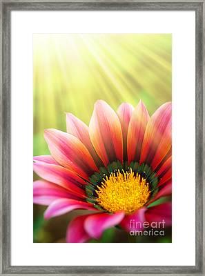 Sunny Daisy Framed Print by Carlos Caetano