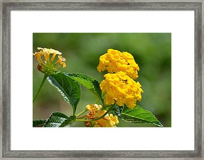 Sunshine Gold Framed Print by Maria Urso