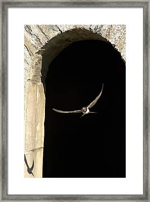 Swallow In Flight Framed Print by John Short