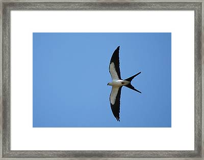Swallow Tailed Kite Framed Print by Kathy Gibbons