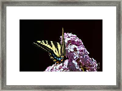 Swallowtail On Lilac 3 Framed Print by Mitch Shindelbower