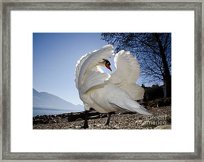 Swan In Backlight Framed Print by Mats Silvan