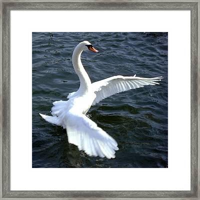 Swan Ready For Take Off Framed Print by ilendra Vyas