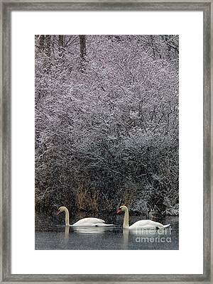 Swans At Mill Pond Yarmouth On Cape Cod Framed Print by Matt Suess