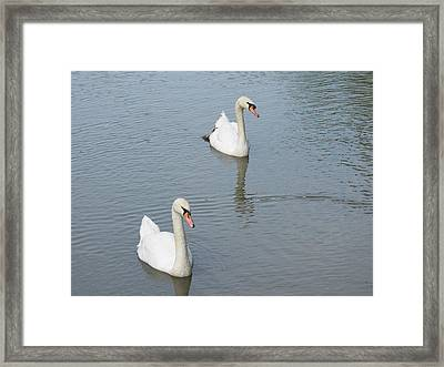 Swans Drifting Along Framed Print by Corinne Elizabeth Cowherd