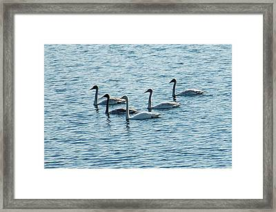 Swans Swimming Framed Print by Aimee L Maher Photography and Art Visit ALMGallerydotcom