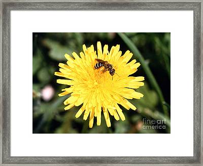 Sweat Bee Framed Print by Science Source