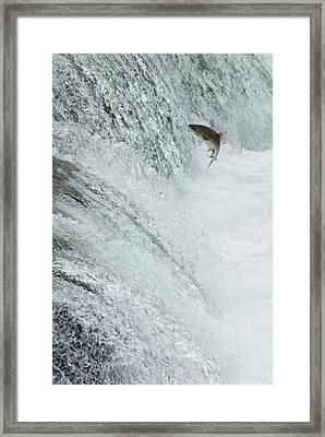 Swimming Upstream Framed Print by Gloria & Richard Maschmeyer