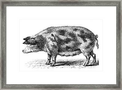 Swine Framed Print by Granger