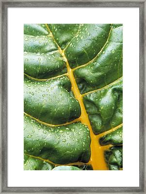 Swiss Chard Leaf Framed Print by Kaj R. Svensson