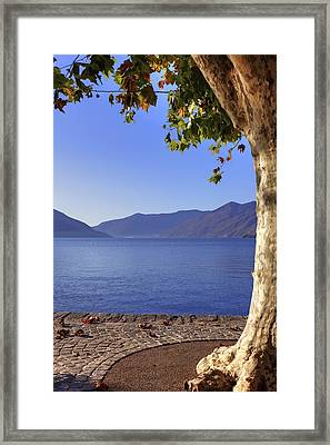 sycamore tree at the Lake Maggiore Framed Print by Joana Kruse