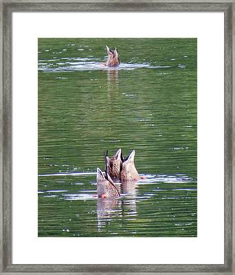 Synchronized Ducking Framed Print by Chris Anderson