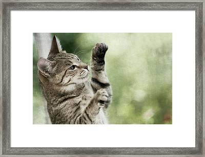 Tabby Kitten Framed Print by Jill Ferry