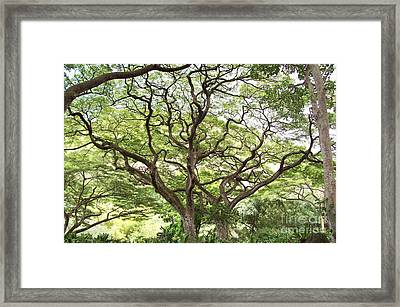 Tangled Hawaiian Tree Framed Print by Deborah Cummins