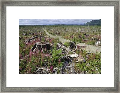 Temperate Rainforest Clear Cutting Framed Print by Gerry Ellis