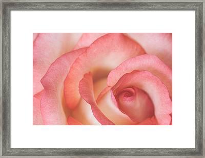 Tender Rose Framed Print by Gulfiya Mukhamatdinova