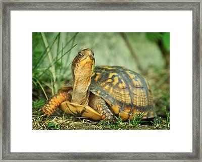 Terrapene Carolina Eastern Box Turtle Framed Print by Rebecca Sherman