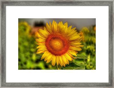 Thai Sunflower Framed Print by Adrian Evans