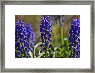 That Purple Herb Framed Print by Lawrence Ott