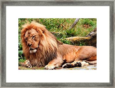 The Ancient Lion Framed Print by Wingsdomain Art and Photography