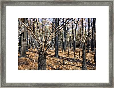 The Bare Stalks Of Tree Ferns Rise Framed Print by Jason Edwards