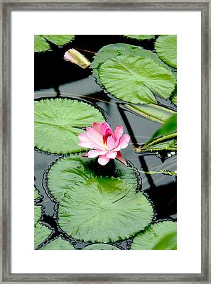 The Beauty Of Water Lily Framed Print by Jasna Buncic