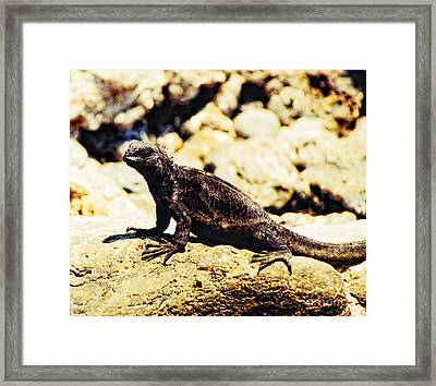 The Black Sheep Framed Print by Diana Cox