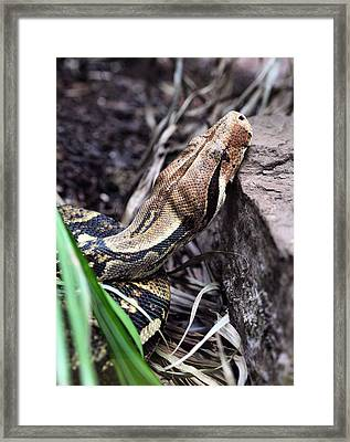 The Boa Framed Print by JC Findley