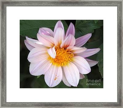 The Bright Dahlia Flower Framed Print by Mrsroadrunner Photography