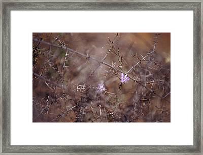 The Delicate Fringe Lily Flower Twining Framed Print by Jason Edwards